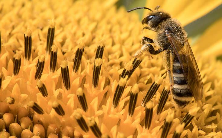 Είχε στο μάτι της τέσσερις μέλισσες που τρέφονταν με τα δάκρυά της – Newsbeast